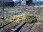 Season Extension for Asparagus with Hay