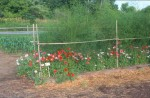 Poppies Interplanted With Asparagus