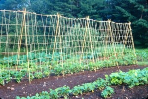 Bamboo Trellis For Beans