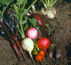 Group of Beets