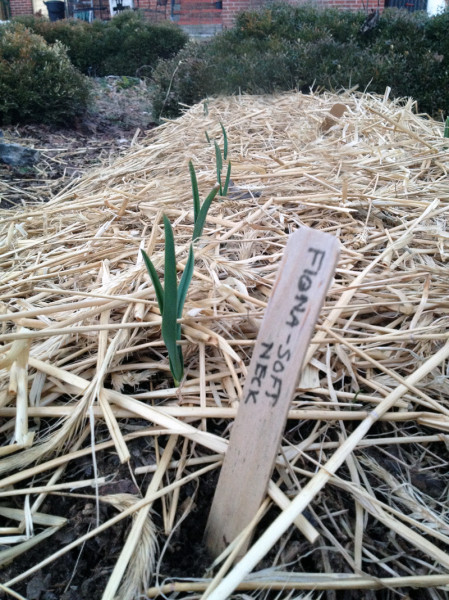 Garlic Emerging
