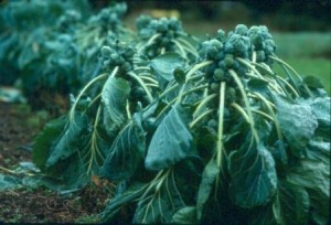 Photo of Brussels sprouts plant